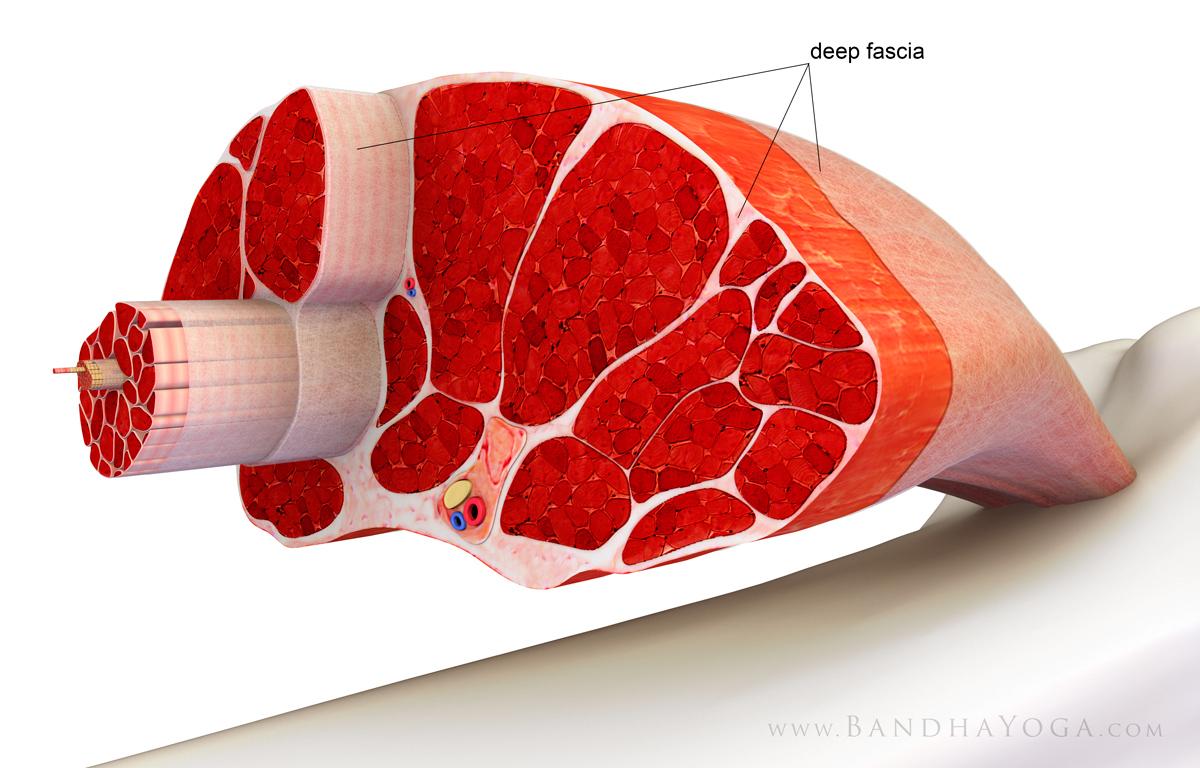 【筋膜とはなんなのか】ケアやパフォーマンスアップには欠かせない部位